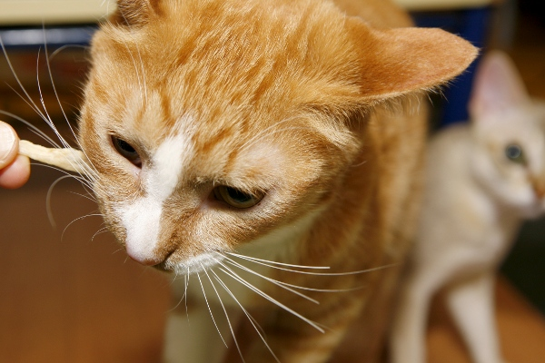アキレススティックを噛む猫