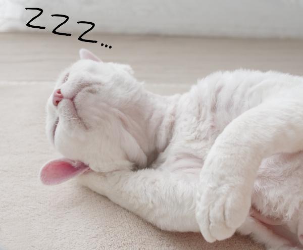 腕枕で眠るデボンレックス Sleeping Devon Rex