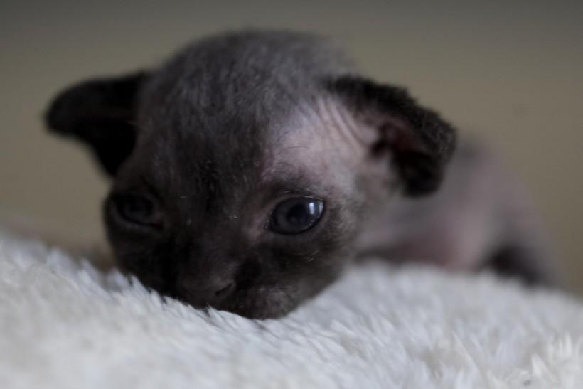 デボンレックスの子猫 ブラック Devon Rex Kittens