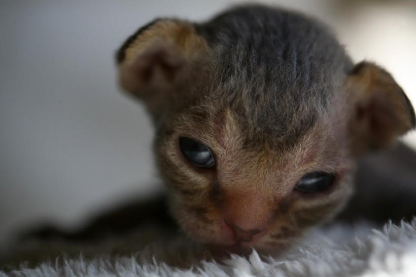 デボンレックスの子猫 チョコレートタビー Devon Rex Kittens