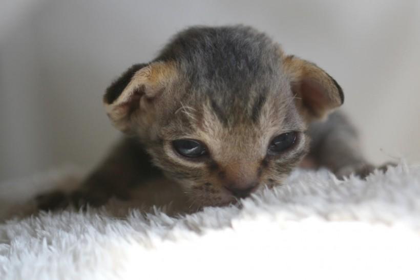 デボンレックスの子猫 ブラックタビー Devon Rex Kittens