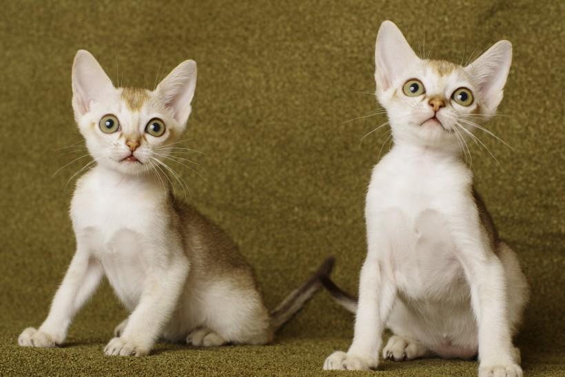 シンガプーラの子猫たち Singapura Cat Kittens
