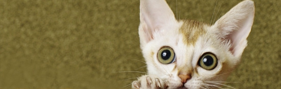 Cattery Sakuraquiet - Singapura Cat