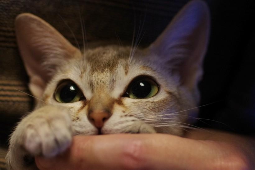 シンガプーラのアセラ Singapura Cat ACELA