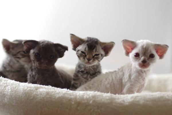 デボンレックスの仔猫たち Devon Rex Kittens