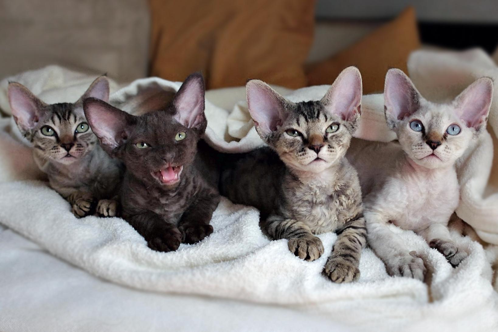 デボンレックスの子猫たち Devon Rex Kittens