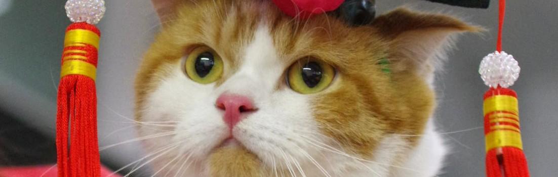 香港のキャットショーのコスプレ中の猫さん