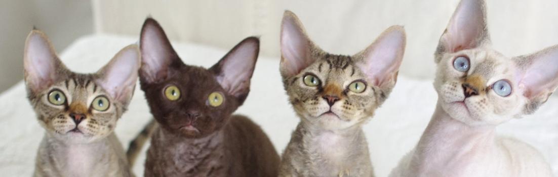 デボンレックスの仔猫たち