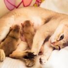 シンガプーラ アセラ 仔猫