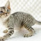 デボンレックスKIKIの仔猫 ブラウンマッカレルタビーメス Devon Rex Kitten BrownMackerelTabby