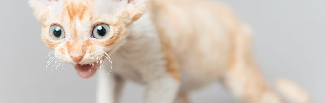 デボンレックス SNIPの仔猫 レッドクラシックタビーアンドホワイト オス Devon Rex Kittens SNIP RedClassicTabbyWhite male