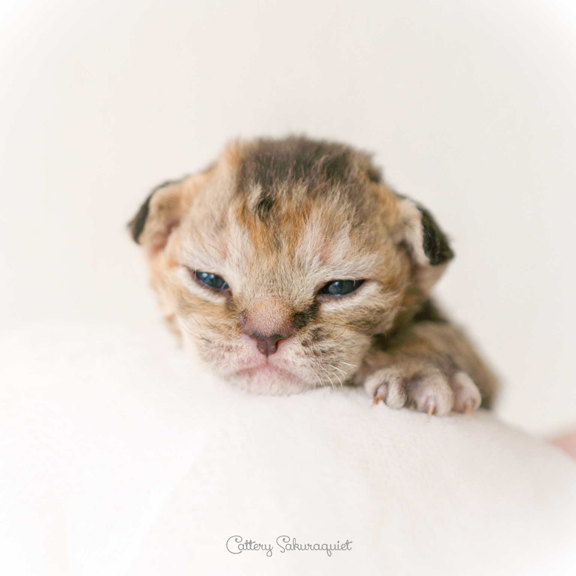 デボンレックス CATERINAの仔猫 ブラウンクラシックトービー メス Devon Rex Kittens CATERINA BrownClassicTorbie female