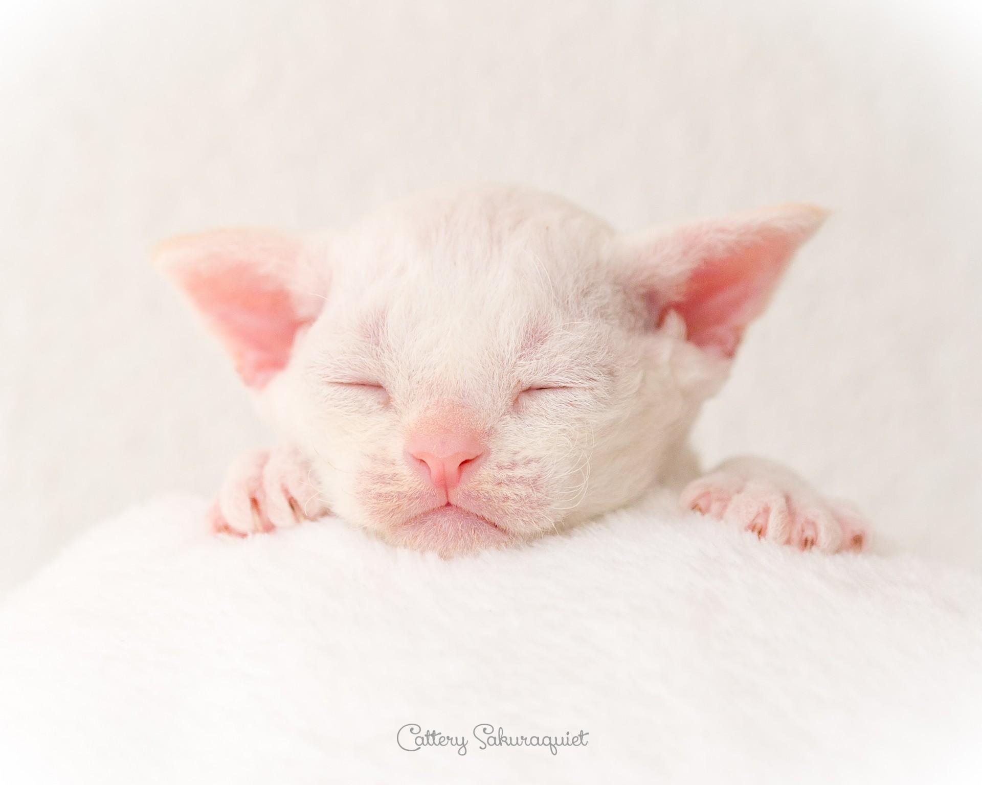 デボンレックス SNIPの仔猫 レッドリンクスポイント&ホワイト オス Devon Rex Kittens SNIP Red lynx point&white male