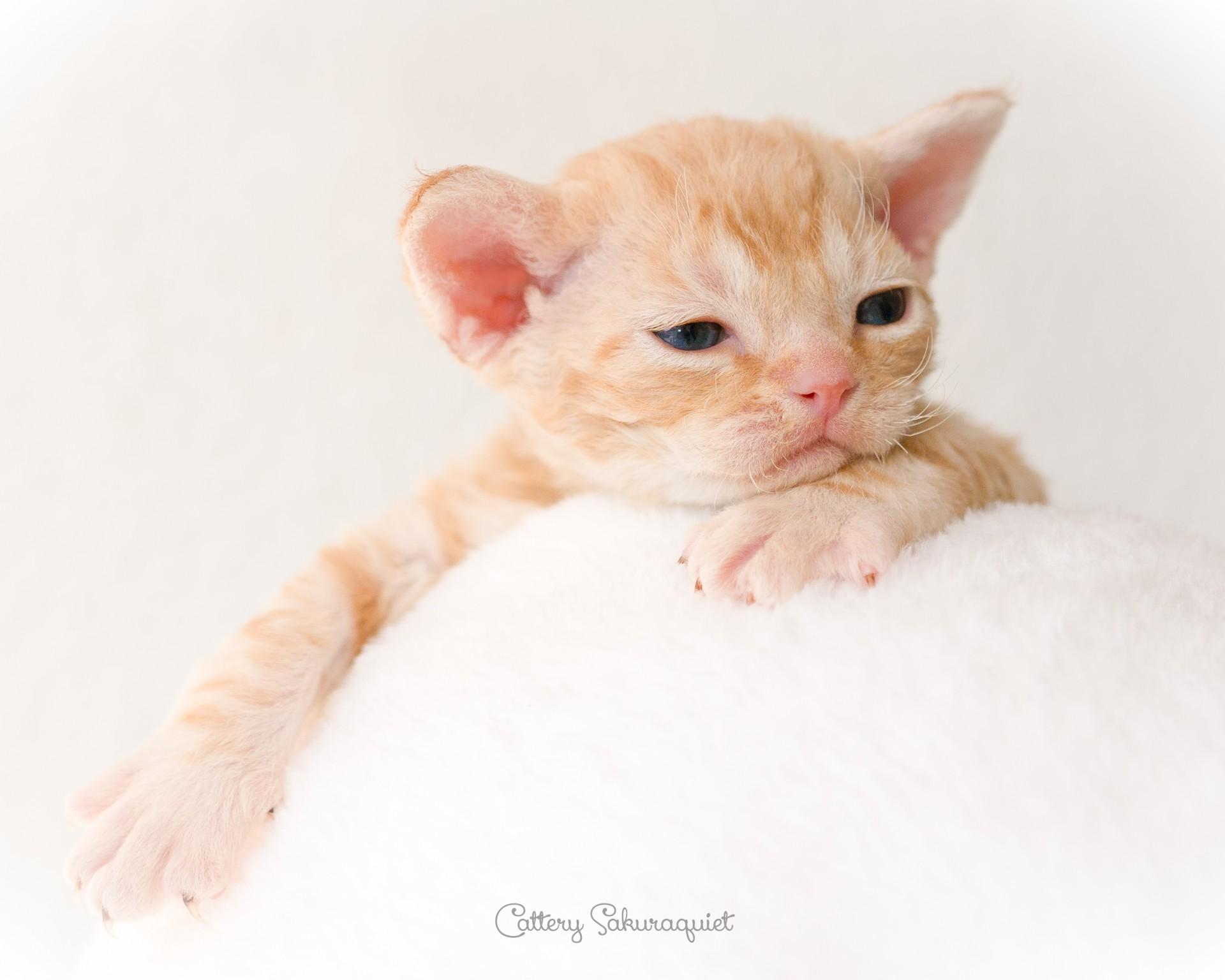 デボンレックス SNIPの仔猫 レッドクラシックタビー オス Devon Rex Kittens SNIP RedClassicTabby male