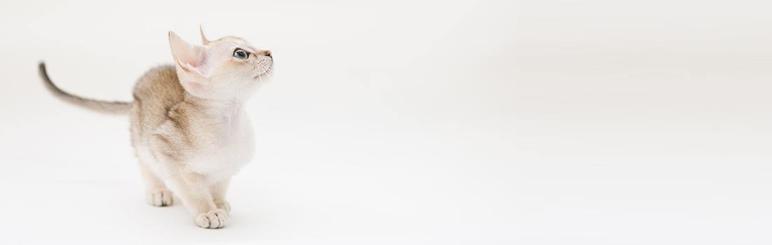 シンガプーラ ACELAの子猫 セーブルティックドタビー オス Singapura Kittens Sakuraquiet Acela Sable ticked tabby male