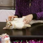 キャットショーでのツレちゃん Singapura Cat TSURE-CHANG