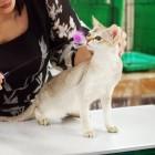 キャットショーでのシンガプーラ Singapura Cat in Catshow