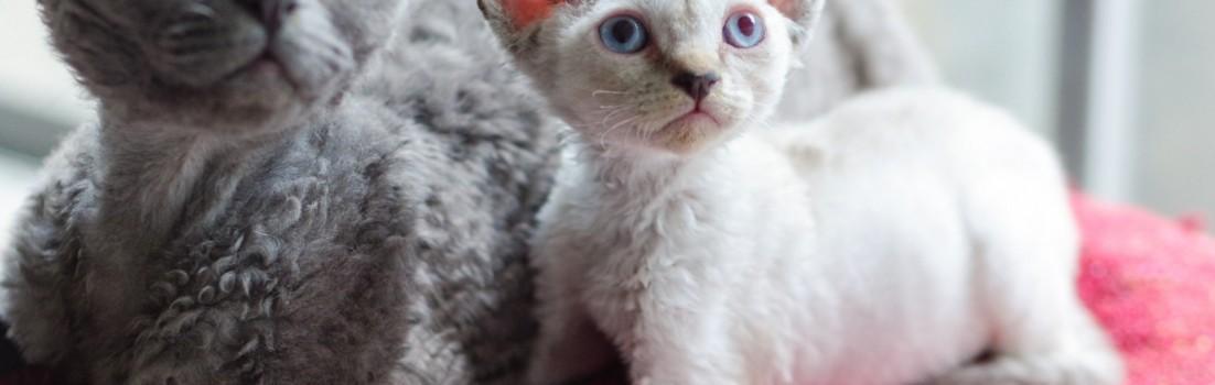 デボンレックスKIKIの仔猫 リンクスポイント♂ Devon Rex Kitten LynxPoint