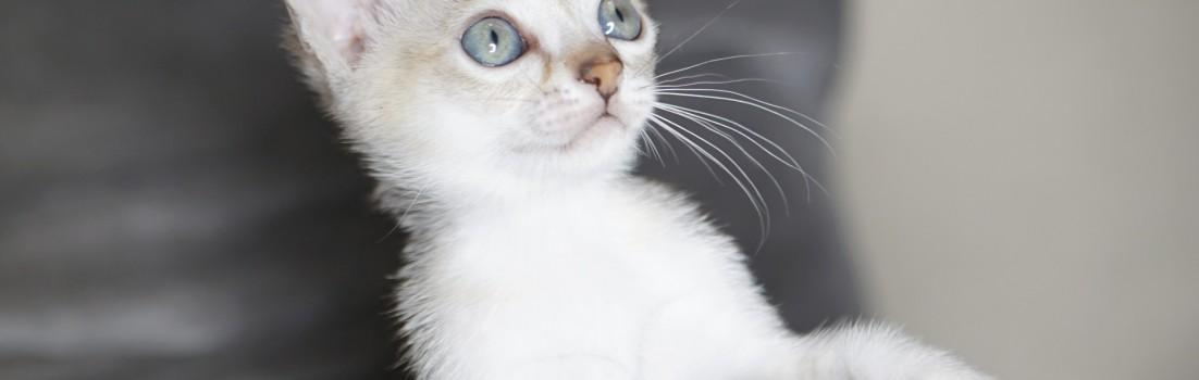 シンガプーラ ルー 仔猫 ♂ SINGAPURA LUGH KITTEN