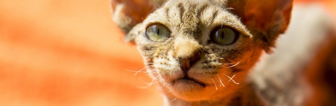 デボンレックスCATERINAの仔猫 ブラウンクラシックタビーオス Devon Rex Kitten BrownClassicTabby