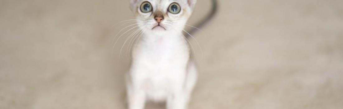 シンガプーラ ルー 仔猫 ♀ SINGAPURA LUGH KITTEN