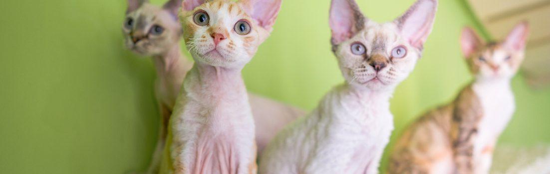 デボンレックス SNIPの仔猫 Devon Rex Kittens