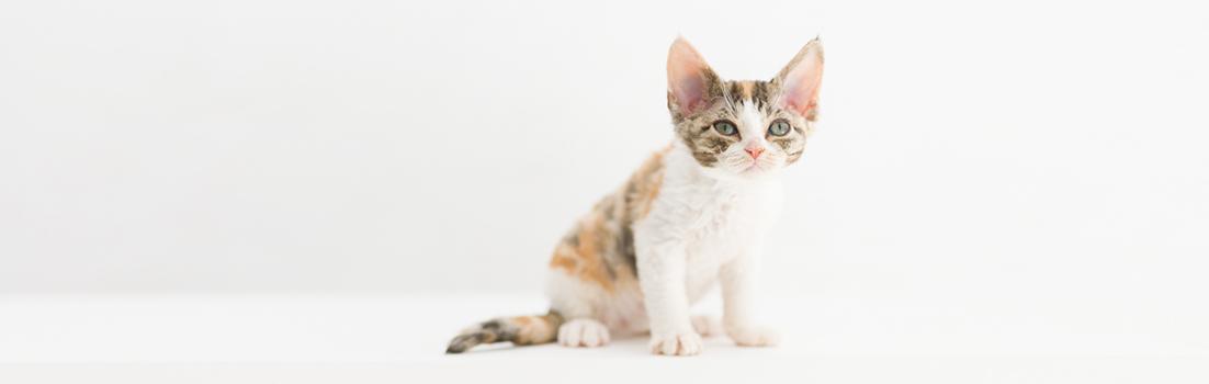 デボンレックス SNIPの仔猫 ブラウンクラシックトービー&ホワイト メス Devon Rex Kittens SNIP BrownClassicTorbie&white female